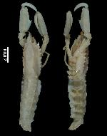 To MNHN Crustaceans Type collection (Holotype: 2013-4318)