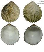 To MNHN Molluscs Type collection (2000-4028)