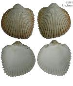 To MNHN Molluscs Type collection (2000-4013)