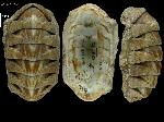 To MNHN Molluscs Type collection (2000-6148)