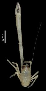 To MNHN Crustaceans Type collection (Holotype: 2013-15938)