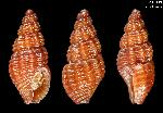 To MNHN Molluscs Type collection (2000-22868)