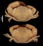 To MNHN Crustaceans Type collection (Syntype(s): 2014-10423)