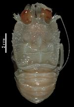To MNHN Crustaceans Type collection (Holotype: 2014-10787)