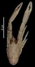 To MNHN Crustaceans Type collection (Holotype: 2014-10802)