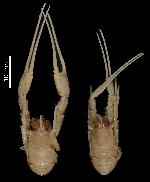 To MNHN Crustaceans Type collection (Syntype(s): 2014-10820)