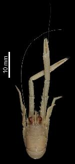 To MNHN Crustaceans Type collection (Holotype: 2010-1670)