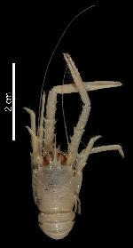 To MNHN Crustaceans Type collection (Holotype: 2010-1686)