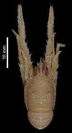 To MNHN Crustaceans Type collection (Holotype: 2014-10899)