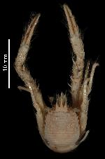 To MNHN Crustaceans Type collection (Holotype: 2010-1691)