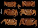 To MNHN Crustaceans Type collection (Syntype(s): 2014-11212)