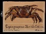 To MNHN Crustaceans Type collection (Syntype(s): 2000-10944)