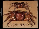 To MNHN Crustaceans Type collection (Syntype(s): 2000-10979)