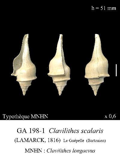 Fasciolariidae - † Clavilithes scalaris (Lamarck, 1803) - Bartonien inf. 1422549639676gZbdqZ9T5mVMRu2u
