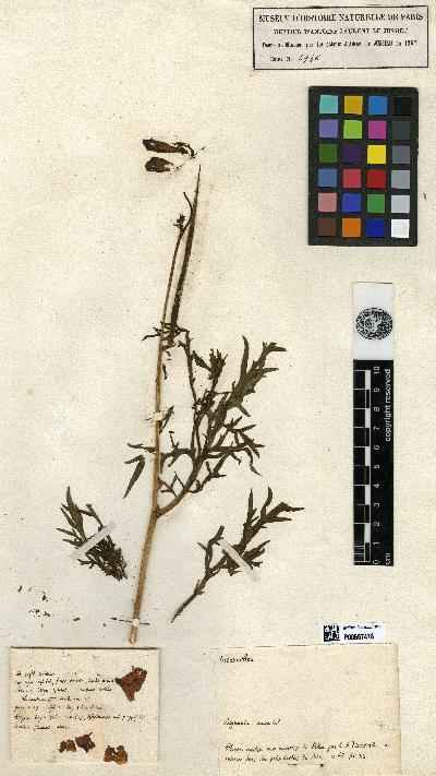 Incarvillea herbier historique